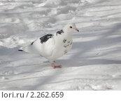 Белый голубь с черными пятнами на фоне белого снега. Стоковое фото, фотограф Станислав Горбачев / Фотобанк Лори