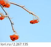Купить «Обледенелые гроздья рябины», эксклюзивное фото № 2267135, снято 6 января 2011 г. (c) Юрий Морозов / Фотобанк Лори