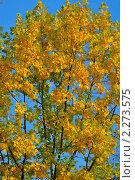 Листья жёлтые. Стоковое фото, фотограф Александра Гаевская / Фотобанк Лори