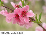 Цветы дикой сливы. Весна. Стоковое фото, фотограф Ольга Липунова / Фотобанк Лори