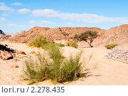Купить «Растения пустыни. Цветной каньон. Синай. Египет», фото № 2278435, снято 8 января 2011 г. (c) Екатерина Овсянникова / Фотобанк Лори