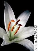 Купить «Лилия  на черном фоне», фото № 2279043, снято 13 января 2011 г. (c) Федор Кондратенко / Фотобанк Лори
