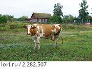 Пятнистая корова. Стоковое фото, фотограф Охотникова Екатерина *Фототуристы* / Фотобанк Лори