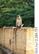 Купить «Гульман (Presbytis entellus) на заборе», фото № 2284151, снято 4 декабря 2010 г. (c) Вера Тропынина / Фотобанк Лори