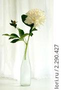 Купить «Белый пион», фото № 2290427, снято 12 июня 2010 г. (c) Литова Наталья / Фотобанк Лори