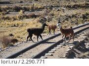 Купить «Ламы на железной дороге», фото № 2290771, снято 8 сентября 2010 г. (c) Free Wind / Фотобанк Лори