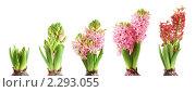 Купить «Цветение гиацинта», фото № 2293055, снято 21 марта 2010 г. (c) Наталия Евмененко / Фотобанк Лори