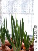 Зеленые перья лука. Стоковое фото, фотограф Александр Чугунов / Фотобанк Лори