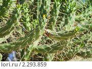 Купить «Кактус», фото № 2293859, снято 18 декабря 2010 г. (c) Яков Филимонов / Фотобанк Лори