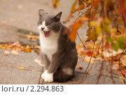 Кот зевает. Стоковое фото, фотограф Юлия Колтырина / Фотобанк Лори