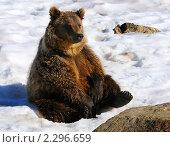 Купить «Бурый медведь», фото № 2296659, снято 30 августа 2010 г. (c) Максим Деминов / Фотобанк Лори