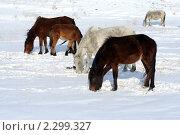 Купить «Лошади пасутся в поле зимой», фото № 2299327, снято 23 января 2011 г. (c) Вера Тропынина / Фотобанк Лори
