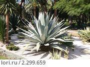 Купить «Агава американская в Бахайских садах», фото № 2299659, снято 28 ноября 2009 г. (c) Наталья Волкова / Фотобанк Лори
