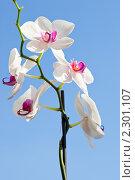 Купить «Цветок белой Орхидеи на фоне голубого неба», фото № 2301107, снято 26 мая 2019 г. (c) ElenArt / Фотобанк Лори