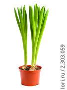 Купить «Растение в горшке», фото № 2303059, снято 24 января 2011 г. (c) Литова Наталья / Фотобанк Лори