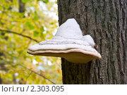 Купить «Гриб тутовик на стволе дерева», фото № 2303095, снято 11 сентября 2010 г. (c) Александр  Буторин / Фотобанк Лори