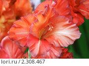 Купить «Гладиолусы», фото № 2308467, снято 4 августа 2010 г. (c) Сергей Семин / Фотобанк Лори