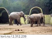 Купить «Пара индийских слонов гуляет в вольере. Дели, Индия», фото № 2312239, снято 29 декабря 2010 г. (c) Вера Тропынина / Фотобанк Лори