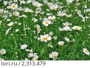 Купить «Поле цветущих ромашек», фото № 2313479, снято 27 мая 2010 г. (c) Литова Наталья / Фотобанк Лори