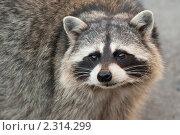 Енот-полоскун. Стоковое фото, фотограф Дмитрий Загорский / Фотобанк Лори