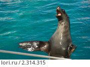 Морской котик хлопает в ладоши. Стоковое фото, фотограф Дмитрий Загорский / Фотобанк Лори
