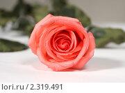 Розовая роза. Стоковое фото, фотограф Вадим Карпусь / Фотобанк Лори