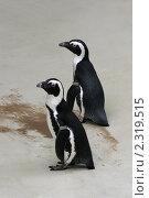 Пингвины. Стоковое фото, фотограф Светлана Мамина / Фотобанк Лори