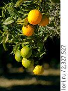Купить «Спелые и неспелые апельсины висящие на ветке, на тёмном фоне», фото № 2327527, снято 14 января 2010 г. (c) Иванова Марина / Фотобанк Лори