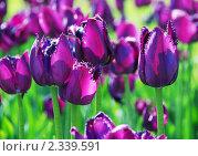 Купить «Фиолетовые тюльпаны», фото № 2339591, снято 30 мая 2009 г. (c) Екатерина Овсянникова / Фотобанк Лори