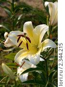 Белый цветок трубчатой лилии семейство Лилейные. Стоковое фото, фотограф Титова Елена / Фотобанк Лори