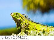 Желтая игуана. Стоковое фото, фотограф Ольга Сапегина / Фотобанк Лори