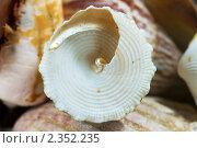 Купить «Морская ракушка крупным планом», фото № 2352235, снято 18 февраля 2011 г. (c) Сергей Лаврентьев / Фотобанк Лори