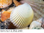 Морская ракушка крупным планом. Стоковое фото, фотограф Сергей Лаврентьев / Фотобанк Лори