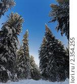 Купить «Санный след под высокими елями», фото № 2354255, снято 23 января 2011 г. (c) Владимир Мельников / Фотобанк Лори