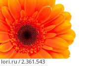 Оранжевая гербера изолированная. Стоковое фото, фотограф Кардашева Ирина Александровна / Фотобанк Лори