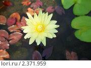 Купить «Крупным планом раскрывшийся бутон цветка лотоса в пруду», фото № 2371959, снято 20 декабря 2010 г. (c) Николай Винокуров / Фотобанк Лори