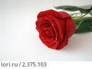Купить «Красная роза с каплями росы», фото № 2375103, снято 7 марта 2009 г. (c) Юлия Бабкина / Фотобанк Лори