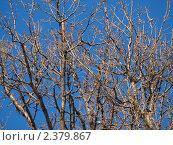 Ветви дерева без листьев на однородном голубом фоне. Стоковое фото, фотограф Константин Болотин / Фотобанк Лори