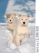 Купить «Два щенка дикой собаки в зимнем лесу», фото № 2390935, снято 8 марта 2011 г. (c) Икан Леонид / Фотобанк Лори