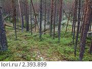 Купить «Таёжный сосновый лес», фото № 2393899, снято 9 июля 2010 г. (c) Михаил Иванов / Фотобанк Лори