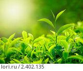 Чайные листья. Стоковое фото, фотограф Дмитрий Рухленко / Фотобанк Лори