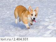 Собака породы вельш корги пемброк бежит по снегу. Стоковое фото, фотограф Сергей Лаврентьев / Фотобанк Лори