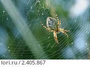 Купить «Паук на паутине крупным планом», фото № 2405867, снято 1 июля 2010 г. (c) Икан Леонид / Фотобанк Лори