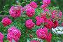 Роза Плетистая Flammentanz, эксклюзивное фото № 2407383, снято 20 июля 2009 г. (c) Алёшина Оксана / Фотобанк Лори