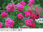Купить «Роза Плетистая Flammentanz», эксклюзивное фото № 2407383, снято 20 июля 2009 г. (c) Алёшина Оксана / Фотобанк Лори
