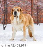 Купить «Собака породы испанский мастиф», фото № 2408919, снято 15 марта 2011 г. (c) Сергей Лаврентьев / Фотобанк Лори