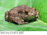 Купить «Серая жаба на листе лопуха крупным планом», фото № 2411607, снято 26 июня 2010 г. (c) Икан Леонид / Фотобанк Лори