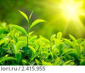 Купить «Чайные плантации под лучами солнца, Керала, Индия», фото № 2415955, снято 14 января 2010 г. (c) Дмитрий Рухленко / Фотобанк Лори