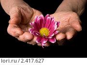 Купить «Цветок в  руках пожилого человека», фото № 2417627, снято 6 марта 2011 г. (c) Воронин Владимир Сергеевич / Фотобанк Лори