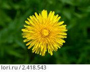 Купить «Жёлтый цветок одуванчика», фото № 2418543, снято 17 мая 2009 г. (c) Евгений Дробжев / Фотобанк Лори